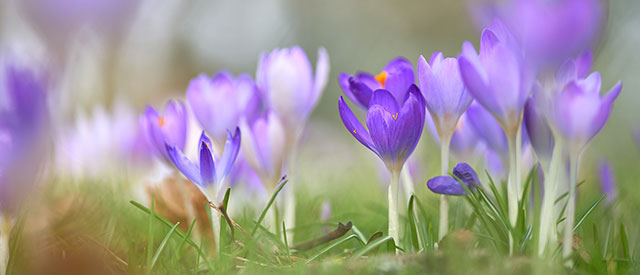 Crocus flowers